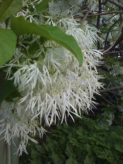Chionanthus virginicus | by shira p-f