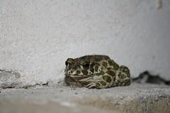 Mlsná žabka
