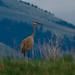 Sandhill Crane by Curt Deatherage