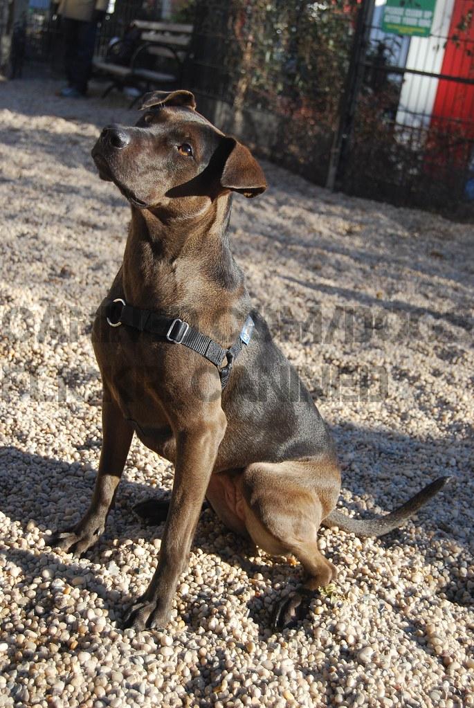 Louisiana Catahoula Leopard Dog Pitbull Terrier Mix Dog Pi