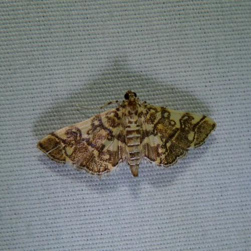 insect newjersey spring moth nj lepidoptera pyraustinae arthropoda invertebrate arthropod mercuryvaporlamp insecta keystonepark eastbrunswick middlesexcounty crambidae mothlight spilomelini pyraloidea apogeshnastenialis checkeredapogeshna friendsoftheeastbrunswickenvironmentalcommission