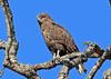 Brown Snake-Eagle, Kakanda, DRC by Terathopius