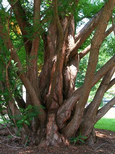 tree dawn virginia roots va redwood charlottesville gnarled naturesfinest anawesomeshot goldstaraward goldstarawar thogarwe