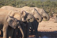 Elephants drinking water | by mmmavocado