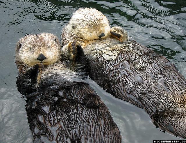20030614 Sea otters (Enhydra lutris) at Vancouver Aquarium… | Flickr