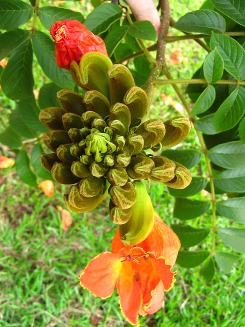 Bisnagueira, Mijadeira (piss flower), African-Tulip (Spathodea campalunata) flowers buquet from top; Ceret Sao Paulo