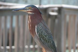 Greenback Heron-3 | by keywest aquarium