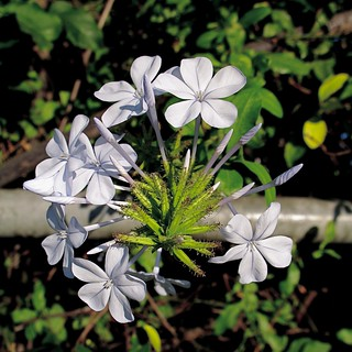 Plumbago auriculata What is this? | by BY-YOUR-⌘