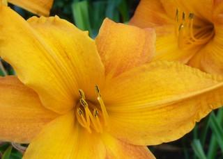 Lilien orange close