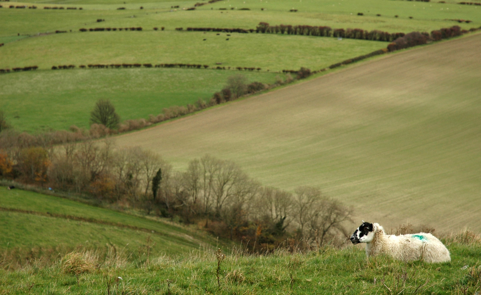Ewe with a view On the south downs, England