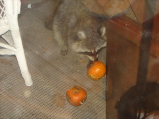 raccoon eating pumpkins on our porch | by Kathryn Cramer