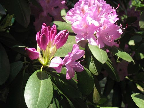 Rhododendron - Untouched | by di_the_huntress