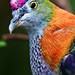 Image: Superb Fruit Dove