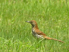 Brown Thrasher, Armstrong Township, PA