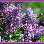 The Paler, Pastel Lavender Lilac Blossoms
