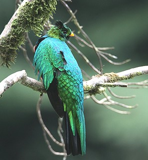 IMG_1741_1golden headed quetzal | by joel n rosenthal
