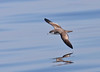 Buller's Shearwater by Glen Tepke