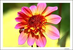 pink dahlia | by PHOTOPHOB