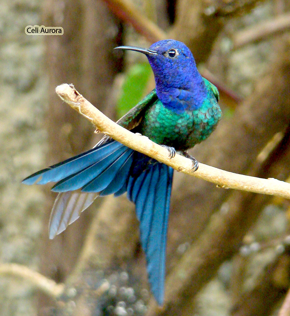 Eupetomena macroura ( Beija-flor-tesoura ou Tesourão ) - Swallow-tailed Hummingbird - 4158C