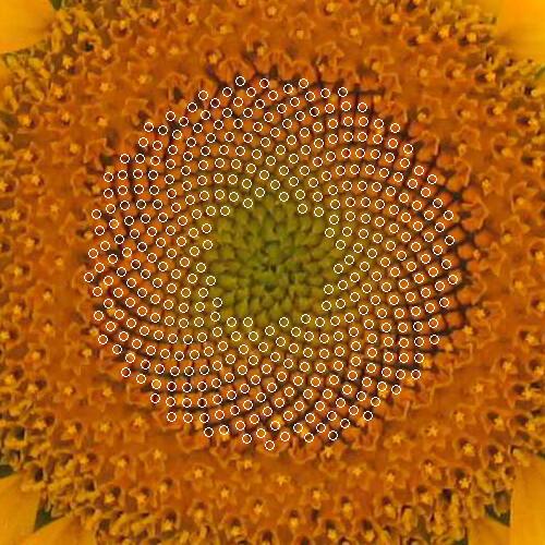 Girasole: Spirale di Fermat e Sezione Aurea