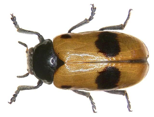 Clytra laeviuscula (Ratzeburg, 1837)