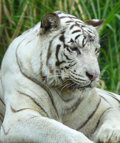 Bengal Tiger Stock Video Footage - 4K and HD Video Clips ... |Bengal Tiger Tired