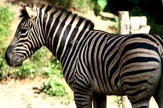 Zebra | by Phalinn Ooi