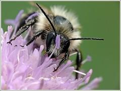 melecta luctuosa ou abeille coucou   by 100dryne