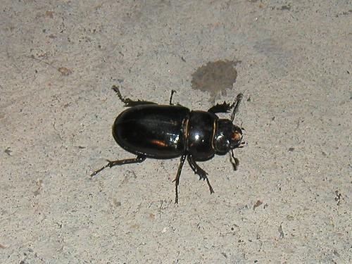 Pseudolucanus barbarossa (femella - hembra - female) | by fturmog