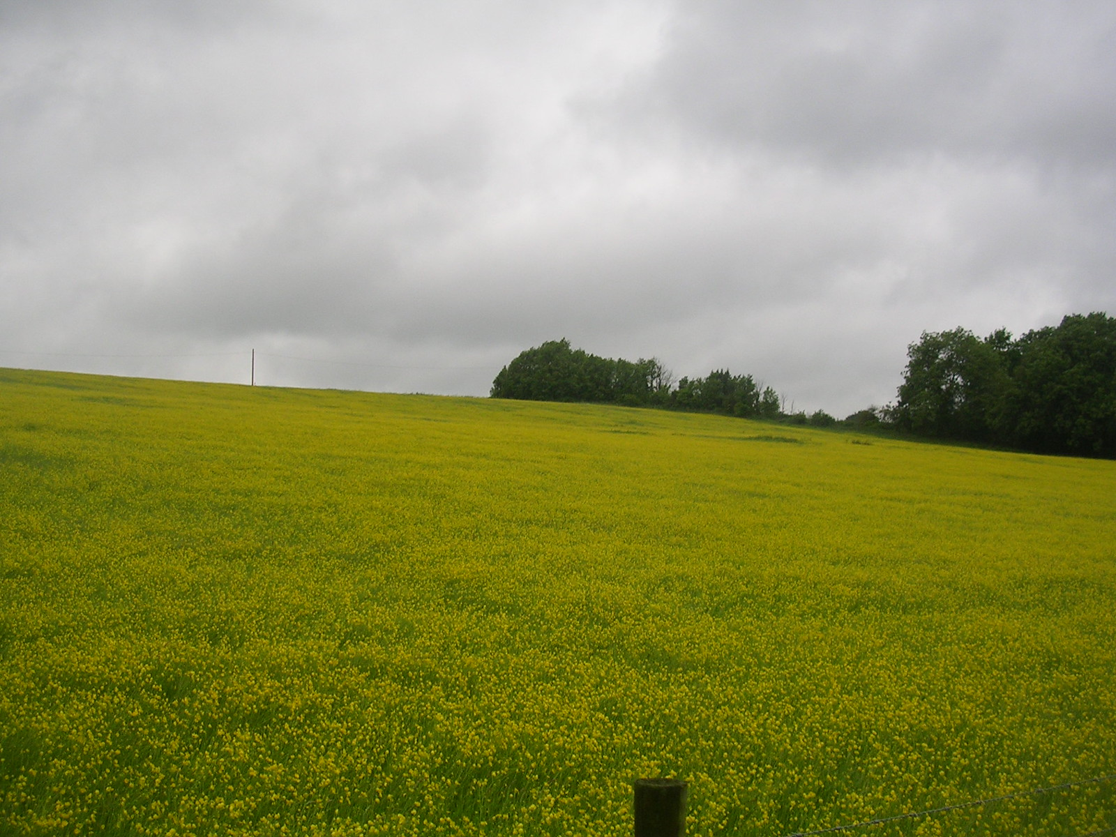 Buttercups Wakes Colne to Bures Spectacular show of....