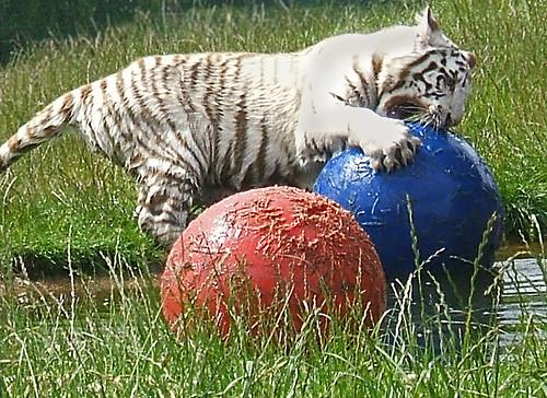 White Tiger Cub At Play