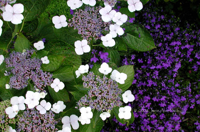 Hydrangea Macrophylla Blue Wave Lobelia Crystal Palac Flickr