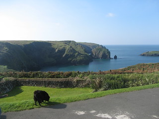 Dizzy on front lawn of Mullion Cove