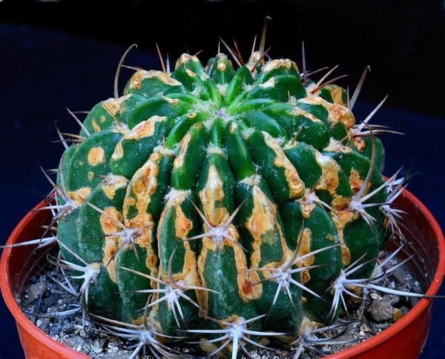 Echinopsis hystrichoides 3292