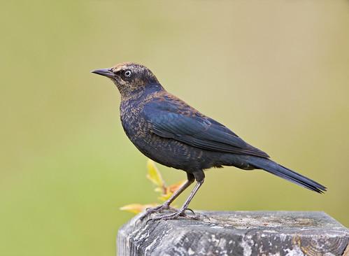 Rusty Blackbird | by J Gilbert