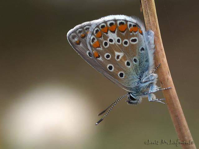 Polyommatus icarus  hembra