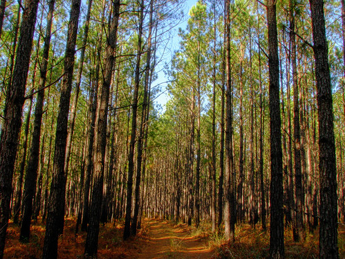 trees nature pine forest canon is path powershot hdr s5 s5is