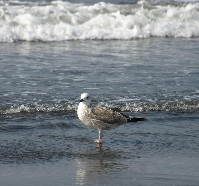 Gull @ Sea View