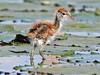 Lesser Jacana, Lake Chilwa (Malawi), 15-May-11 by Dave Appleton