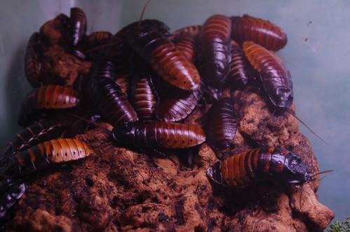 FILE NAME: Cockroaches.jpg  CAPTIONS IN DIFFERENT LANGUAGES: SV: Kackerlackor - fotokredit till Matt Lemmon - Flickr  LINK IN CAPTION / LINK TO SOURCE: https://www.flickr.com/photos/mplemmon/2611305933/in/photolist-4YKCh6-7xqQD3-94w67w-4dU1XG-6BwNgt-2jyQKJ3-2jyMnhC-MxsPuH-hFiEM-7dRDAx-7dVxqN-8XLFS7-7QafvQ-23PAGFp-tZEim-tZEiF-tZEhh-7JwJif-aP2YDX-e1nbA-Wkyi2-6g8MM-H45mL3-LHjUHA-5jLL84-Dx8Yd-6iEeMJ-2h9pq1c-22qL9nh-6BwNAk-5ce5T8-fnFRye-tZEgG-aeAW6t-3mLfbR-7JwJMq-7wpebM-38KtM2-2k6PtXa-6akBM3-2c6twE3-8hoE7q-dMt4S2-7JsP7r-7JwJjs-9h3uH5-9gZnTp-9gZnVx-9gZo2i-9gZo1e  IMAGE ADDRESS: https://live.staticflickr.com/3249/2611305933_8361bb862c.jpg  DOWNLOAD PLATFORM: Flickr  TITLE: Cockroaches  KEYWORDS: cockroaches, Party Bugs  AUTHOR: Matt Lemmon - https://www.flickr.com/photos/mplemmon/  LINK TO AUTHOR'S PAGE: https://www.flickr.com/photos/mplemmon/  COMMENTS: Resized from the original by Party Bugs (www.partybugs.com). Original photo was downloaded from https://www.flickr.com/photos/mplemmon/2611305933/in/photolist-4YKCh6-7xqQD3-94w67w-4dU1XG-6BwNgt-2jyQKJ3-2jyMnhC-MxsPuH-hFiEM-7dRDAx-7dVxqN-8XLFS7-7QafvQ-23PAGFp-tZEim-tZEiF-tZEhh-7JwJif-aP2YDX-e1nbA-Wkyi2-6g8MM-H45mL3-LHjUHA-5jLL84-Dx8Yd-6iEeMJ-2h9pq1c-22qL9nh-6BwNAk-5ce5T8-fnFRye-tZEgG-aeAW6t-3mLfbR-7JwJMq-7wpebM-38KtM2-2k6PtXa-6akBM3-2c6twE3-8hoE7q-dMt4S2-7JsP7r-7JwJjs-9h3uH5-9gZnTp-9gZnVx-9gZo2i-9gZo1e  COPYRIGHT: Matt Lemmon - CC BY-SA 2.0  THIS INFORMATION WAS COLLECTED: 2.4.2021