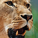 Image: Growl of the Lioness