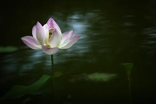 Lotus.---Taipei,Taiwan