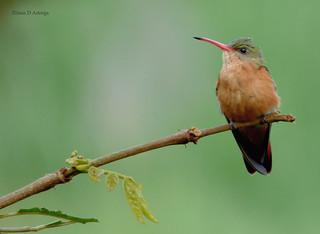 Amazilia rutila (Amazilia canela), Cinnamon Hummingbird | by Juan D Astorga / juan.astorga88@gmail.com