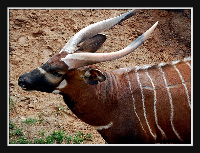 bongo (antelope)