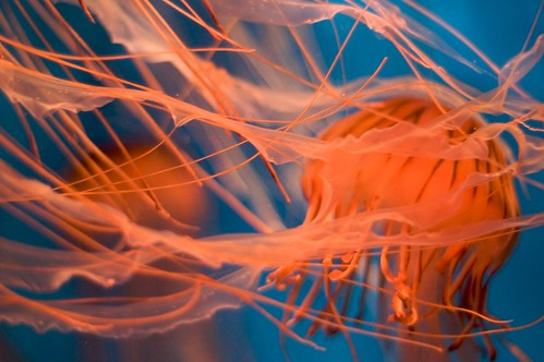 Jellyfish | by djdphotos