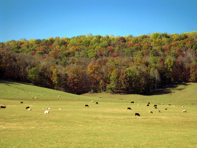 Field of Cows and Fall Trees, Hickory Valley Area, White Co, TN