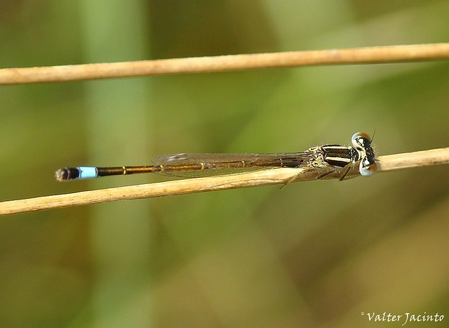 Cauda-azul-ibérica // Iberian Bluetail (Ischnura graellsii), male