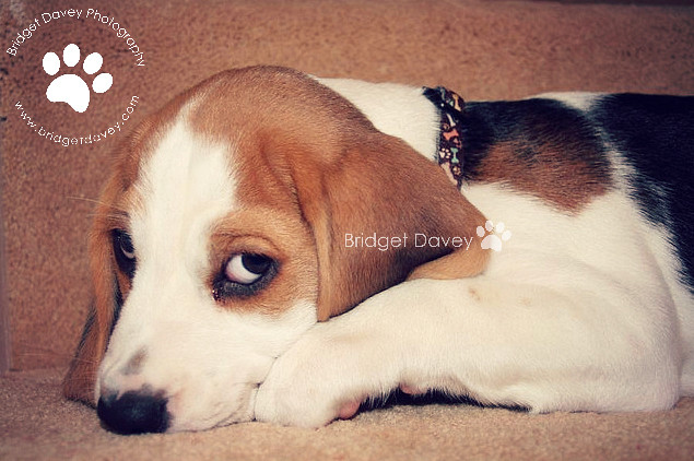 Porthos the Beagle | Pet Photography Milton Keynes