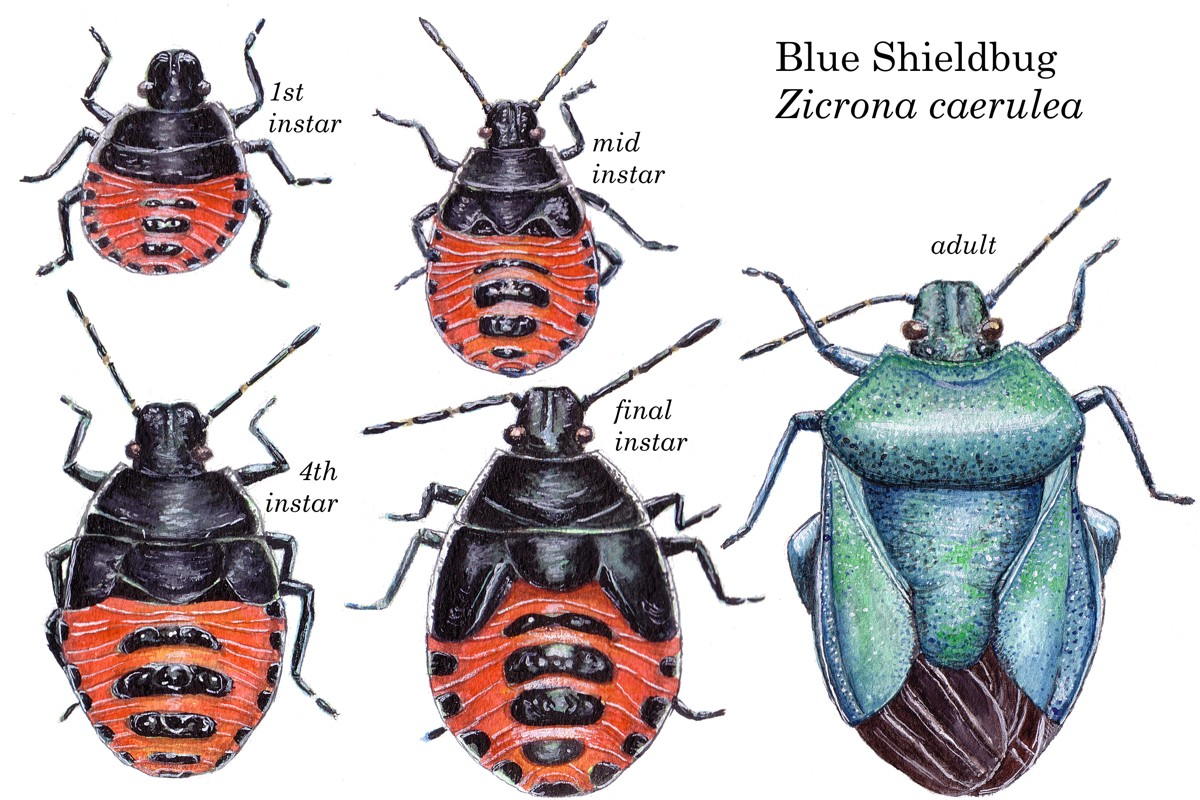 Pentatomidae - Zicrona caerulea - Blue Shieldbug adult & nymph