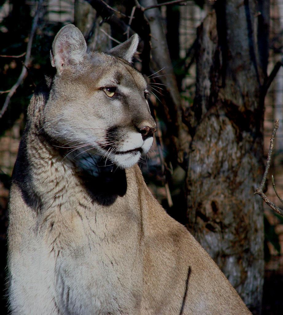 Cougar nc